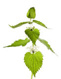 White Deadnettle Royalty Free Stock Image