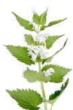 White deadnettle (Lamium album) Royalty Free Stock Image