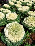 White decorative cabbage Stock Images
