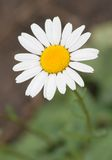 White decorative chamomile Royalty Free Stock Photos