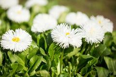 White decorative daisy Stock Image