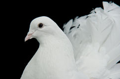 White decorative dove portrait Royalty Free Stock Photography