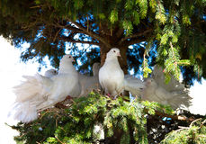 White decorative pigeons Stock Photography