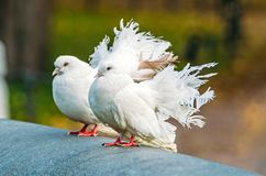 White decorative pigeons with a beautiful lush tail. Stock Images