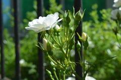 White decorative roses. Decorative Iceberg roses Stock Image