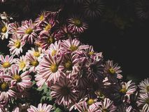 White and deep pink Chrysanthemum flowers. Chrysanthemum or chrysanth, common name is Pot Mum or Florist`s Mum. Adjusted color to vintage tone royalty free stock image