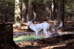 White Deer Royalty Free Stock Image