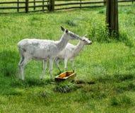 White Deer, Albino Animals Stock Photo