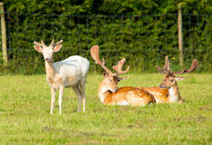 White Deer And Two Red Deer Royalty Free Stock Photo
