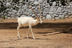 White Deer Stock Photography