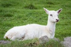 White deer Royalty Free Stock Image
