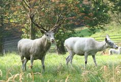 White deer couple Royalty Free Stock Images