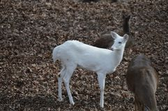 White Deer. White doe with regular doesin the woods Stock Photos