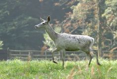 White deer female Royalty Free Stock Image