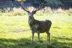 White deer Stock Photo