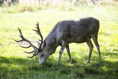White deer Royalty Free Stock Photography