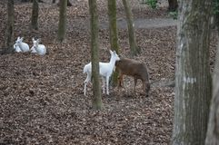 White Deer Herd. A group of does in the woods Stock Images