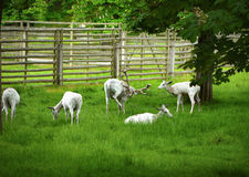 White Deer Herd Stock Photos