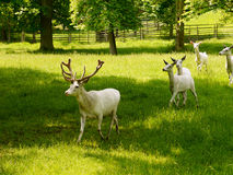 White deer. A large herd of deer and cuckold royalty free stock images