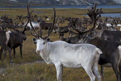 White deer in large herds. Yakutia. Russia Stock Photos