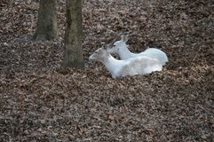 White Deer laying down. Pair of does laying on the forest floor Royalty Free Stock Photography