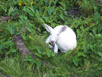 White deer laying down in a wooded area Royalty Free Stock Photo