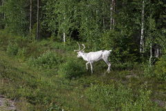 White deer near the forest Royalty Free Stock Images