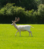 White deer the New Forest England UK Stock Photo