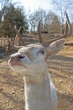 White deer staring at the camera. Stock Photos