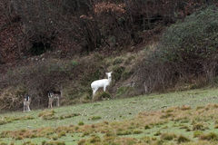 White deer ultra rare portrait Stock Images