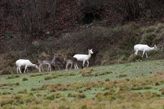 White deer ultra rare portrait Royalty Free Stock Images