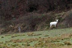 White deer ultra rare portrait Stock Image
