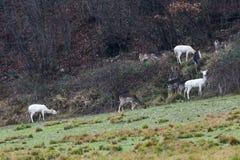 White deer ultra rare portrait Royalty Free Stock Photo
