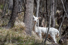White deer ultra rare portrait Stock Photography