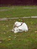 White Deer Stock Image