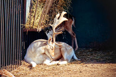 White deer. In the zoo Royalty Free Stock Images