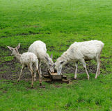 White deers Royalty Free Stock Images