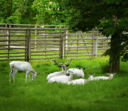 White Deers On Meadow Stock Images