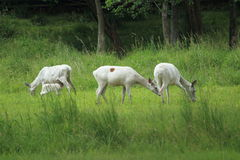White deers in pasture Stock Image