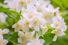 White delicate jasmine flowers royalty free stock photography