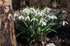 Snowdrops in spring forest. White delicate spring flowers in forest Stock Photos