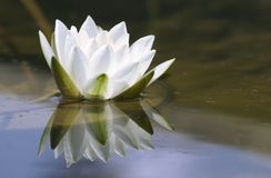 White delicate water lily Royalty Free Stock Images