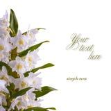 White dendrobium nobile_4 Stock Photography