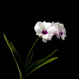 White Dendrobium orchid Stock Photography