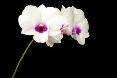 White Dendrobium orchid Stock Image