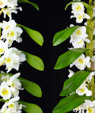 White Dendrobium orchid branches isolated Royalty Free Stock Photos