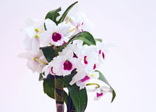 White Dendrobium orchid closeup Royalty Free Stock Images