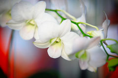 White Dendrobium Orchid. Dendrobium is a huge genus of orchids. It was established by Olof Swartz in 1799 and today contains about 1,200 species. The genus Royalty Free Stock Photography