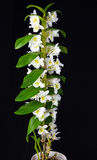 White Dendrobium orchid Royalty Free Stock Photos