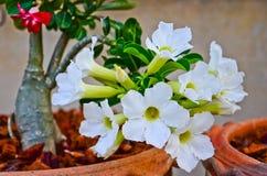 White desert roses Stock Images